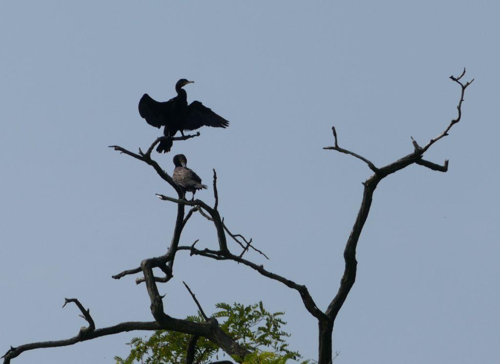 Peschiera - kormorany