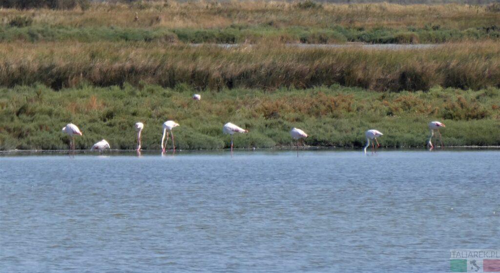 Flamingi?