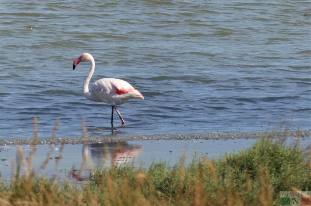 samotność flaminga