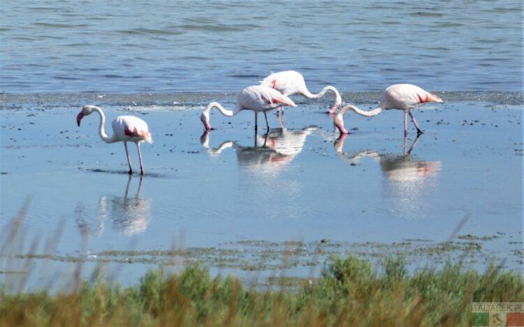 Polowanie na flamingi - Delta Po